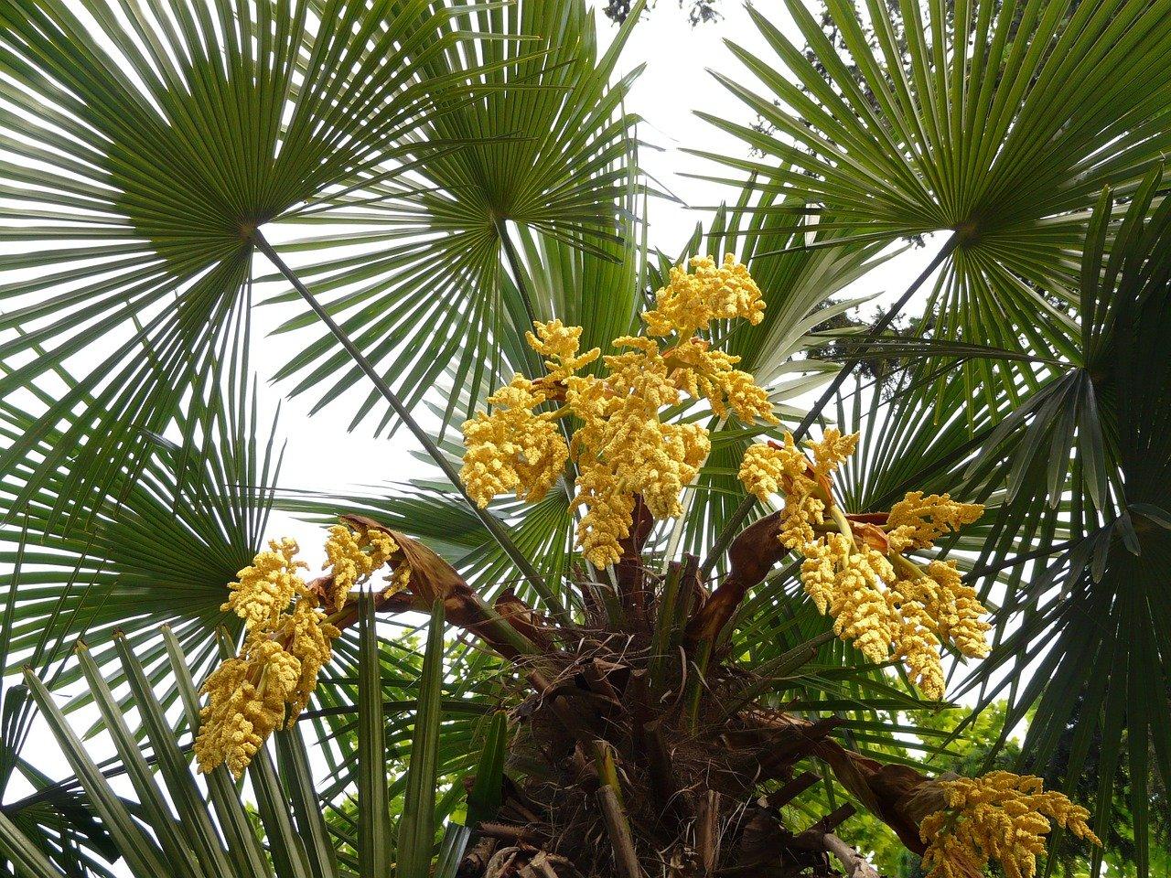 Le palmier chanvre